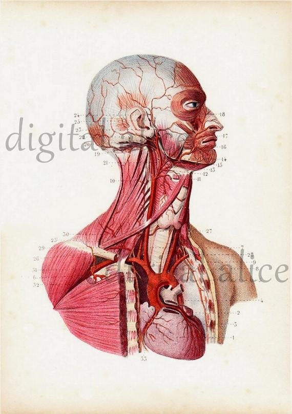 Digitale 1800 Anatomie PRINT POSTER Neurologie vaskuläre | Etsy