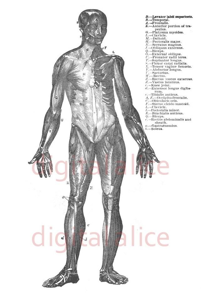 ANATOMÍA humana músculos Print blanco y negro ilustración | Etsy