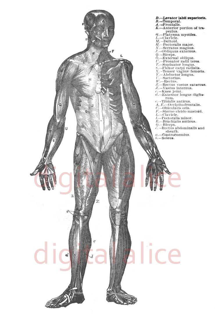 ANATOMÍA humana músculos Print blanco y negro ilustración   Etsy