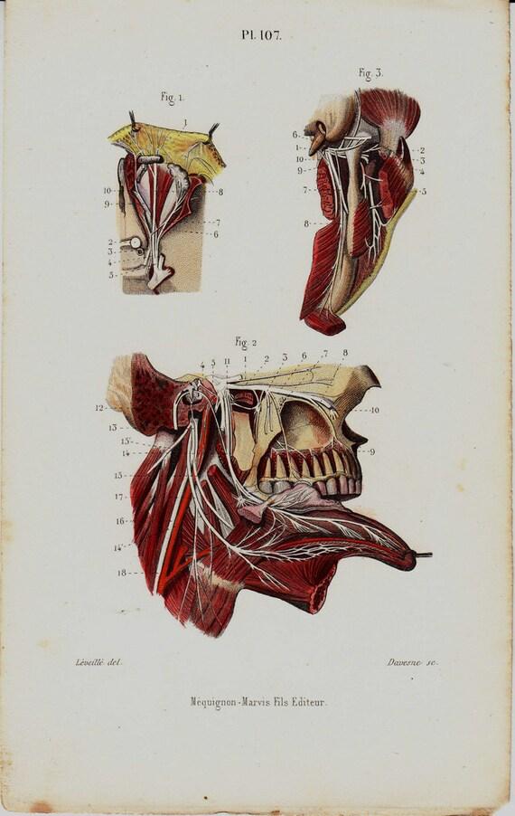 1843 antike Anatomie Druck Zunge Zähne Muskeln Kiefer