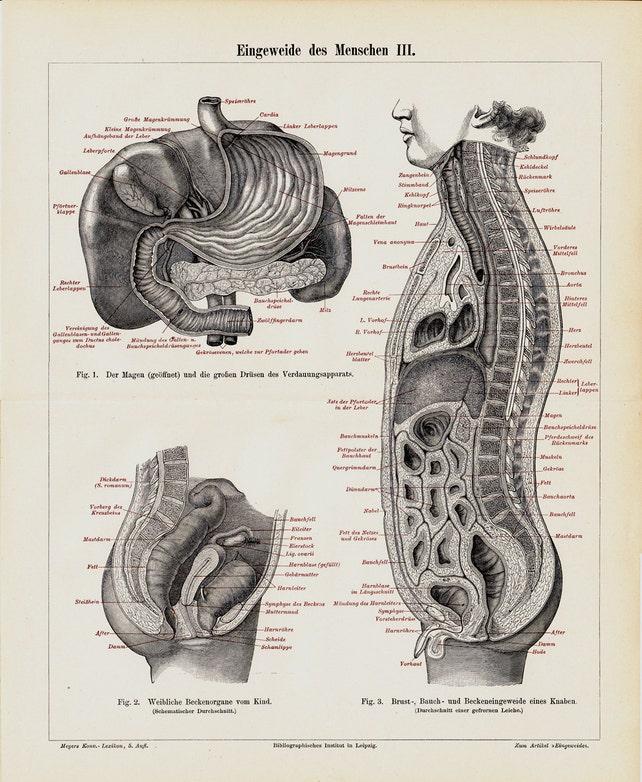 1897 viktorianischen Weinlese Anatomie-Druck Eingeweide Mut | Etsy