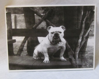 vintage repro picture of a bulldog with tooth showing sitting on wooden bench