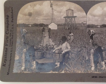 Stereoview Card Antique Photo Florida Harvesting Pineapples 1904 Vintage Photograph Indian River Keystone View 3D