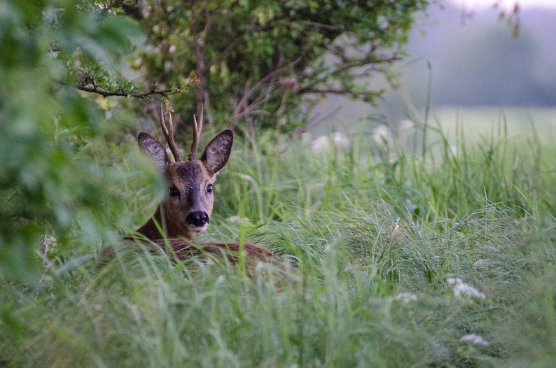 Roe deer  Fine Art Nature Photography Print image 0