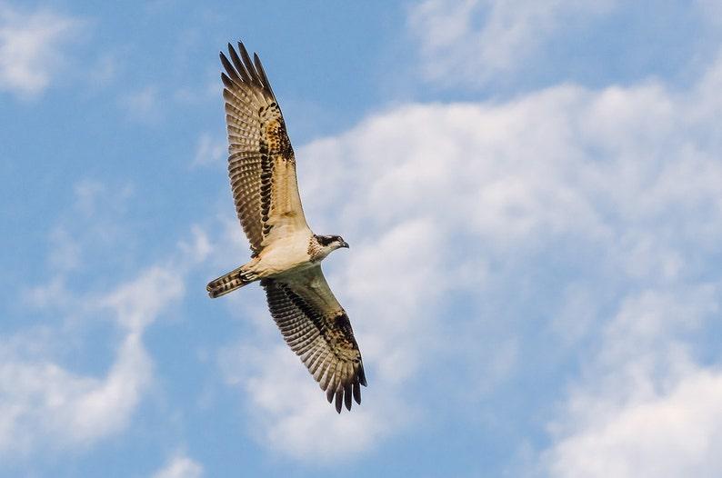 Osprey  Fine Art Nature Photography Print image 0