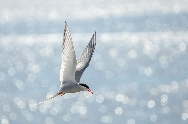 Arctic Tern  Fine Art Nature Photography Print image 0