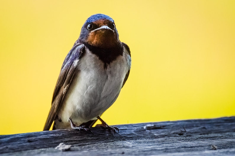 Barn swallow  Fine Art Nature Photography Print image 0