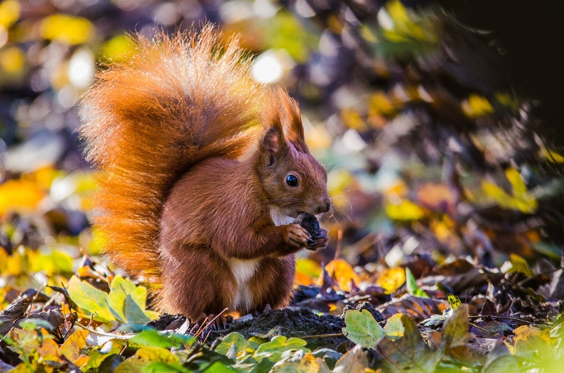 Autumn Squirrel  Fine Art Nature Photography Print image 0