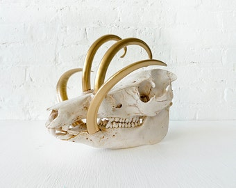 Reserved - Wild Boar Skull w/ 24k Gold Tusks