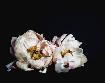 Dark Floral Wall Art - Two Blooms - nature photography, peony, flower, feminine, delicate, pink, black, gold, cream, abstract