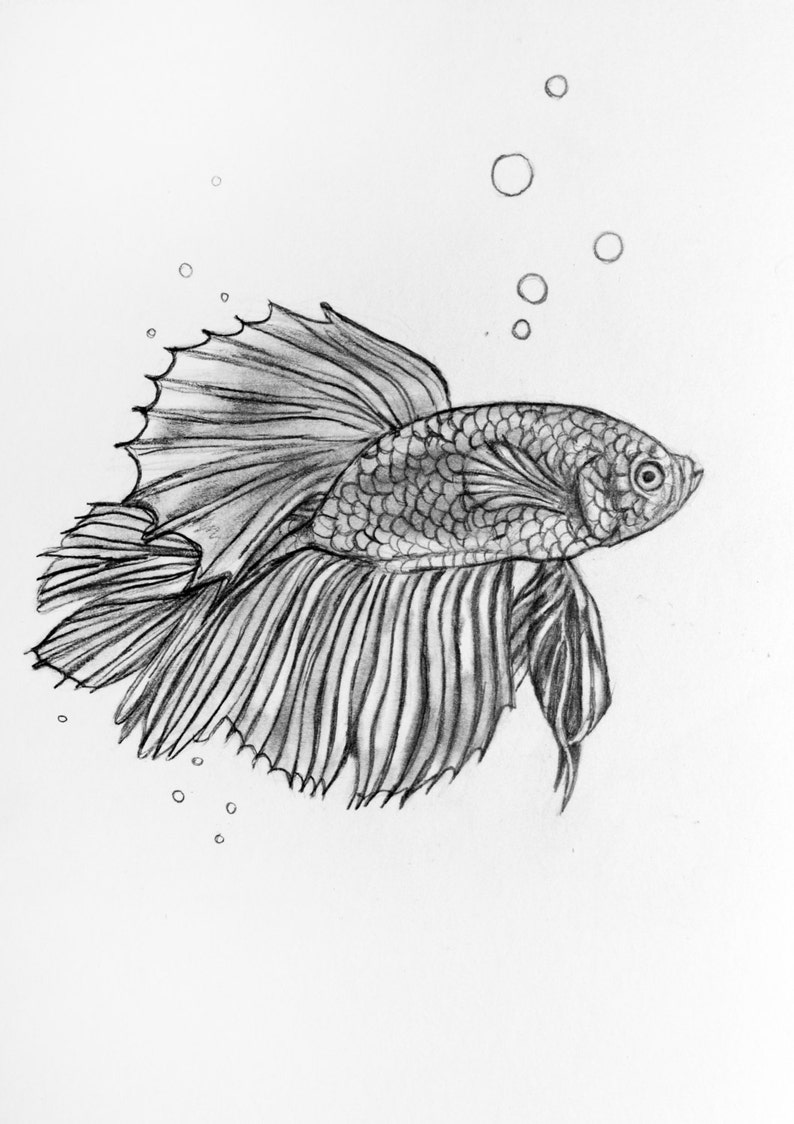 Original pencil drawing siamese fighting fish 44