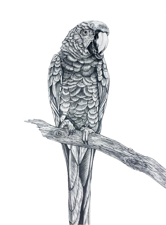 Parrot Pencil Drawing Original Etsy
