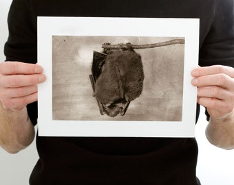 Hanging Little Brown Bat Photograph (9 x 6 inch Fine Art Print) Animal & Nature Photography