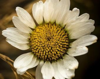 White Daisy Flower , White Daisy Flower Photograph, White Daisy Wall Decor,  Flower, Nature, White Daisy Floral Art, Home Decore