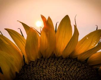 Sunflower Photograph, Sunflower, Summer Sunflower, Circle, Summer Sunset, Summer , Colorado, Yellow, Pink, Grey