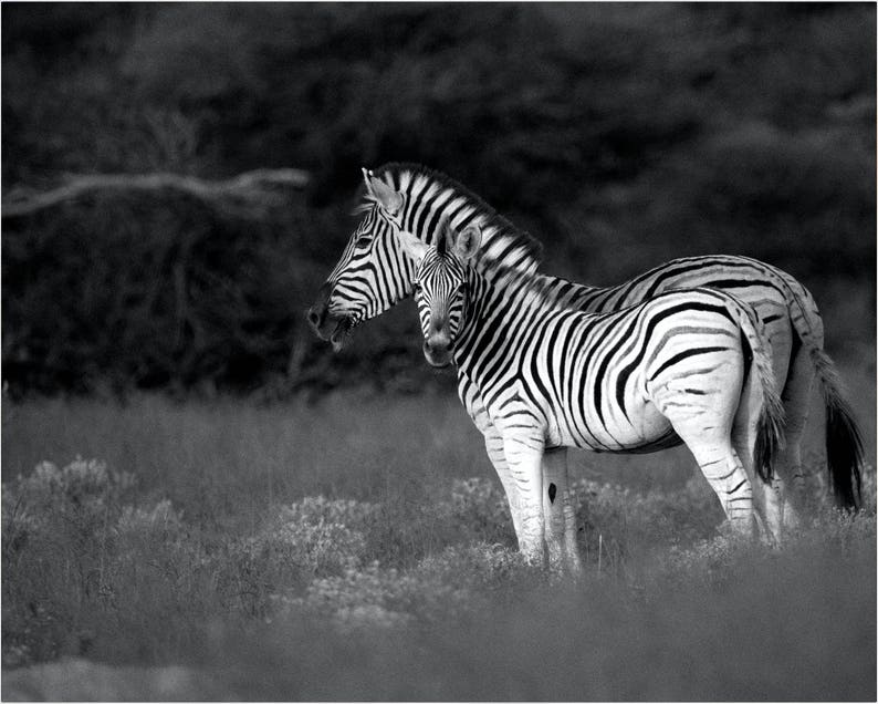 Zebra Nursery Art Zebra Photography Print Animal Wall Art Black and White Zebra Print Zebra Wall Art Zebra Wall Decor