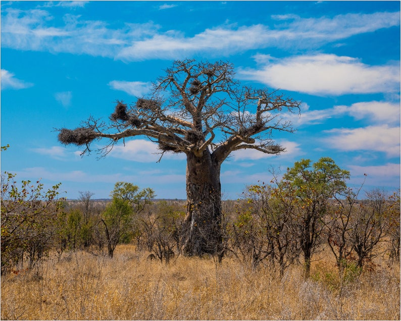 Baobab Tree Photography Print | African Landscape Art | Tree of Life Art |  South Africa Art