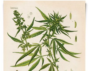 Vintage Cannabis Botanical Print. Educational marijuana Chart Diagram from Kohler's Botanical. Medicinal Plant Guide - B002P