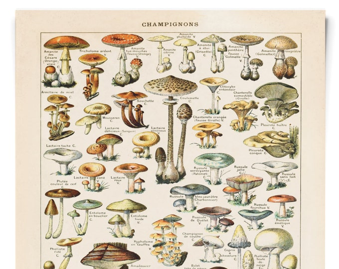 Featured listing image: Vintage French Mushroom Print by Millot. Botanical Diagram Antique print- Variety of Mushrooms and Fungi Educational Chart Diagram - B032P