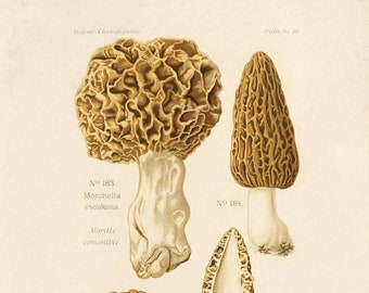 Vintage Mushroom Print. morhcella morels. Fungi Educational Chart Diagram - B036P