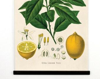 Lemon Pull Down Chart - Lemon Botany Diagram Print Reproduction. Educational Poster from Kohler's Citrus Tree Botanical Poster - 236CVL