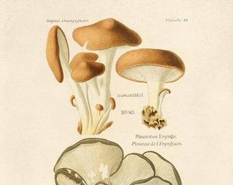 Vintage Mushroom Print. Pleurotus ostreatus (oyster mushroom). Fungi Educational Chart Diagram - B037P
