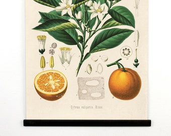 Pull Down Chart - Botanical Orange Reproduction Print. Educational Chart Diagram Poster from Kohler's Citrus Tree Botanical Poster - 238CVL