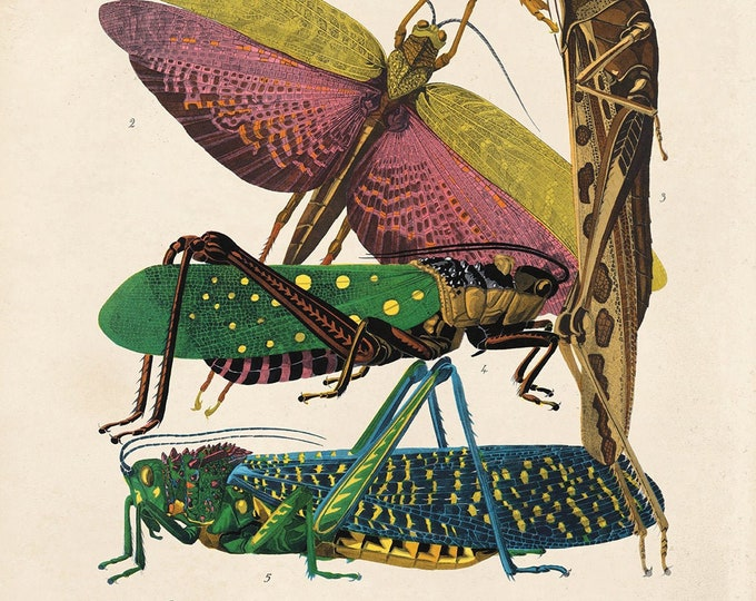 Featured listing image: Vintage Grasshopper and other Insects Print. French Seguy Chart Diagram Poster. Entomology