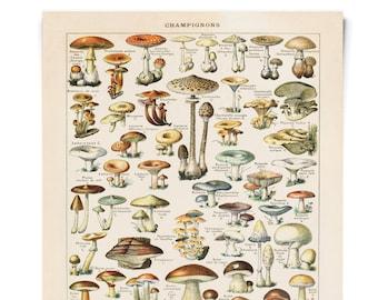 Vintage Botanical Mushroom Diagram Reproduction Poster.  Le Petit Larousse Champignons by Millot. Fungi Educational Chart Diagram. CP239