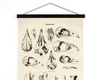 Pull Down Chart - Vintage German Bird of Prey Skull Diagram Canvas Reproduction. Educational Falcon Anotomy Birds Science Poster - A024CV
