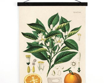 Pull Down Chart - Botanical Orange Reproduction Print. Educational Chart Diagram Poster from Kohler's Citrus Tree Botanical Poster - B014CV