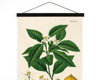 Lemon Pull Down Chart - Citrus Tree Botanical Reproduction Print. Educational Chart Diagram Poster from Kohler's  Botanical Poster - B011CV