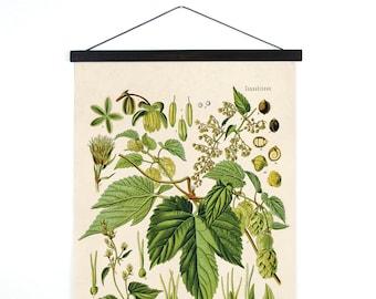 Hop Humulus lupulus Pull Down Chart - Botanical Reproduction Print. Vintage Science Plate Educational Diagram wall art poster - B001CV