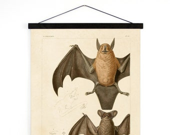 Bat Pull Down Chart Vintage Reproduction. Mexican Freetail Bat Tadarida brasiliensis Molossus rugosus Zoology austin biology - A025CV