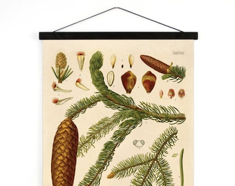Pull Down Chart - Botanical Norway Spruce Diagram Print. Educational Poster Kohler's Botanical. Medicinal Plants evergreen tree - B016CV