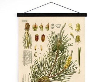Pull Down Chart - Botanical Scots Pine Diagram Print. Educational Poster Kohler's Botanical. Medicinal Plant Guide evergreen tree - B009CV