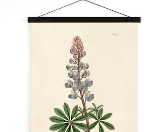 Vintage Bluebonnet Pull Down Chart. Botanical Print Lupinus Texas State Flower from William Curtis Magazine poster - B024CV