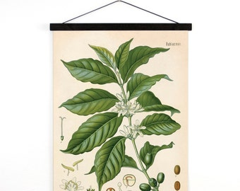 Coffee Pull Down Chart - Vintage Botanical Coffea Arabica Diagram Reproduction Print - Kohler's Botanical Medicinal Plant Guide - B012CV