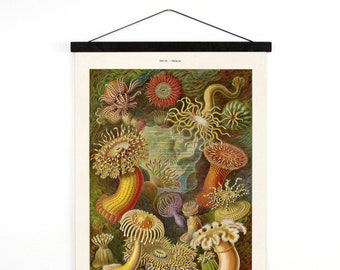 Pull Down Chart - Vintage Sea Anemone Canvas Hanging Reproduction Print. Haeckel Vintage Science Plate. Educational Diagram - A029CV