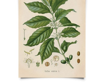 Vintage Coffee Bean Print. Botanical Coffea Arabica Flower Print. Educational Chart Diagram Poster Pull Down Chart from Kohler's - B012P
