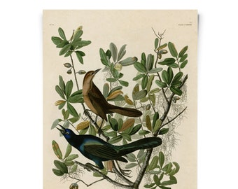 Vintage Grackle Illustration Print -  Boat tailed Grackle Zoology austin biology antique science Audubon - A026P