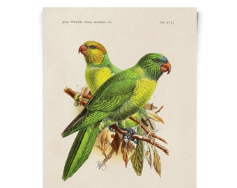 Parakeet - Vintage Bird Illustration Poster Reproduction - Max Weber Monk Parakeet Birds Zoology Print Austin Biology Green . CP279