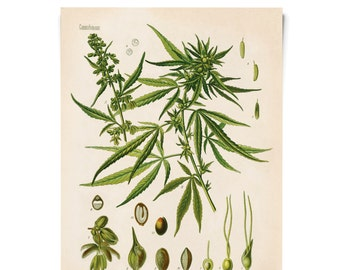 Vintage Cannabis Sativa Print. Botanical Educational Chart Diagram Poster from Kohler's Botanical. Medicinal Plant Guide marijuana - B002P