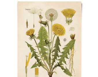 Vintage Dandelion Flower Print. Botanical Poster Botanical Taraxacum officinale. Educational Chart Diagram from Kohler's - B010P