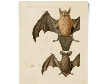 Bats Illustration Poster Vintage Reproduction. Mexican Freetail Bat Tadarida brasiliensis Molossus rugosus Zoology austin biology. CP276