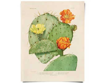 Vintage Cactus Blossom Print Plate 34. Prickly Pear Educational Vintage Chart Diagram Cactus Desert Poster Pull Down Chart - C008P