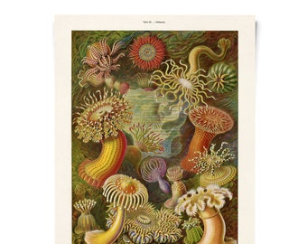 Vintage Haeckel Sea Anemone Print - Ocean life poster Educational Diagram Chart German science - A029P