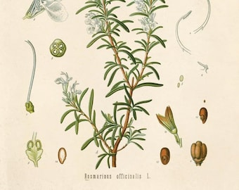 Vintage Rosemary Herb Print. Rosmarinus officinalis Botanical Diagram  from Kohler's Medicinal Plant Guide - B008P