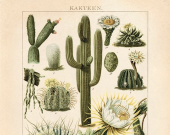 Vintage German Cactus Chart Print. Kakteen Botanical Desert Educational Diagram Poster Pull Down Chart - C001P