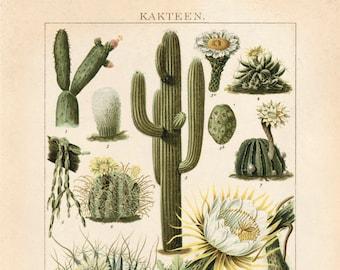 Vintage German Cactus Kakteen 2 Print. Botanical Desert Educational Diagram